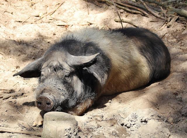 Haustierpark Liebenthal Schwein