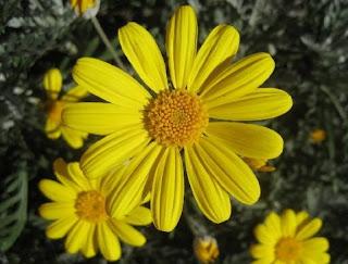 margarita çiçeği