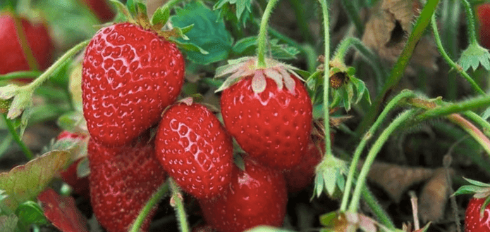 Expert Farmer Offers Excellent Advice On How To Pick The Best Fruits