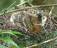 Burung Cililin Anakan Bahan