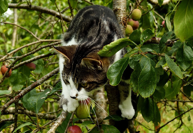 White and brindle cat after climbing into a plum tree.