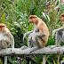 Bekantan: Monyet hidung besar yang menjadi mascot tanah Borneo