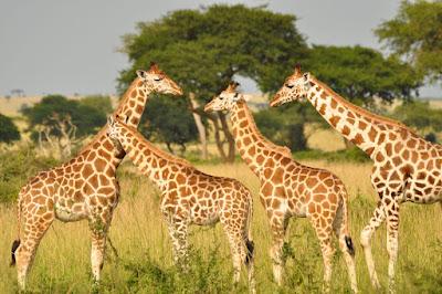 Contoh Descriptive Text Tentang Hewan jerapah (giraffe)
