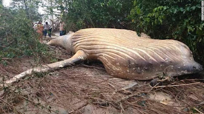 Langka! Bangkai Paus Raksasa Ditemukan di Hutan Mangrove Brasil