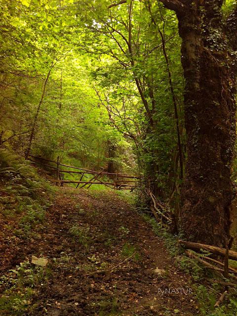 Bosque en el Valle de Ponga - Asturias