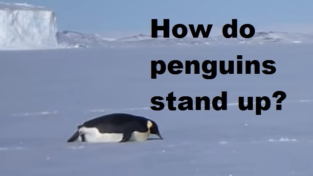 How do penguins stand up when they fall over