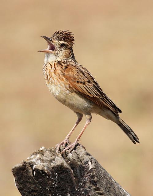 Canto de Passaros: Saiba Porque os pássaros cantam.