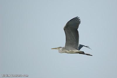 Bernat pescaire (Ardea cinerea) en vol