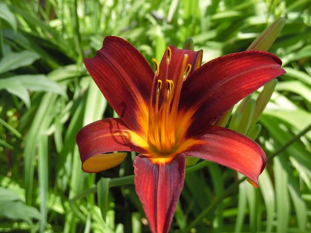 kwiat liliowca Crimson Pirate
