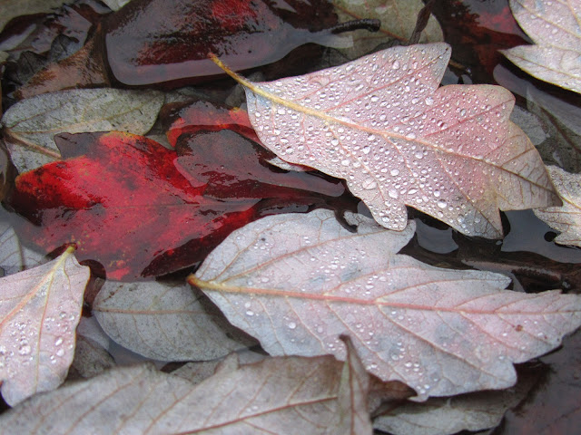 raindrops on red leaves