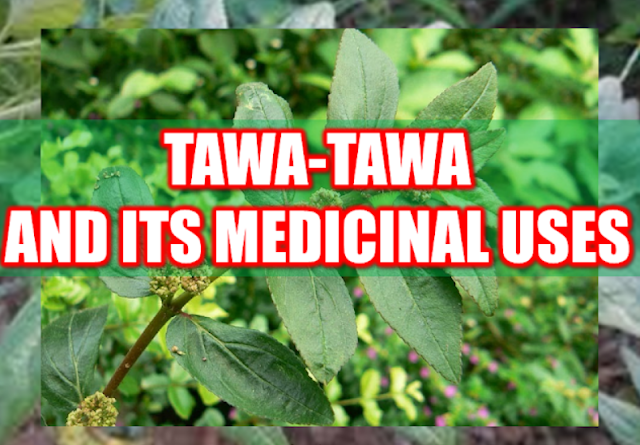 """Asian countries are known for its vast natural resources and forests that grow different varieties of medicinal plants and herbs. In fact, most health sites and medical websites feature Asian medicinal herbs. One of the most potent herbs is the Euphorbia hirta locally known in the Philippines as """"Tawa-tawa"""".  Advertisement        Sponsored Links      Tawa-tawa, with a scientific name Euphorbia Hirta, is commonly found in any neighborhood in tropical areas. In the Philippines,this plant can be found almost anywhere growing with common bushes and grass. In other countries,Tawa-tawa is called the """"asthma weed"""" for its known eficacy in curing asthma.  Tawa-tawa is known for its analgesic, antipyretic, anti-inflammatory and anxiolytic properties. It contains gallic acid, quercetin, triacontane, cetyl alcohol,phytosterol, phytosterolin, jambulol, melissic, palmitic and linoleic acid. It also has euphorbianin, leucocyanidol, camphor, quercitrin and quercitrol.  Vitamin contents of tawa-tawa plant include ascorbic acid, thiamin, riboflavin, and niacin.     The different parts of the tawa-tawa plant has variety of medicinal uses.   For treating patients with asthma, the white resin is mixed with drinking water to alleviate asthma symptoms. Dried leaves made like a cigar can also be used. For other instances, the plant is boiled to make a tea for the asthma patient.   For the treatment of dengue fever, making tea from the whole plant without the roots is a potent cure. For the common fever, the tea made from boiling tawa-tawa roots is being used.  The same treatment is used for those with loose bowel movement or diarrhea, making a tea from the roots has the same medicinal effect.  Tawa-tawa resin can be used for the treatment of ringworm.The resin is applied to the affected area directly.It can also be used for the treatment of sty (kuliti). You can apply the resin to the affected area.  For boils, crushed or minced tawa-tawa leaves can be applied to the affected part of the """