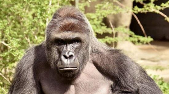 Gorila que foi morto em zoológico