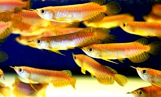 Langkah budidaya ikan arwana