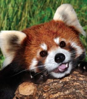 Firefox, raposa-de-fogo ou gato-de-fogo ou panda-pequeno, estes são alguns dos nomes pelos quais o panda-vermelho também é conhecido.