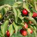 Κρανιά - κράνα μια ελληνική υπερτροφή, φάρμακο για την καρδιά, τον διαβήτη, το έντερο, την διάρροια, αντιπυρετικό. Οι διαφορές με τα  κράνμπερι
