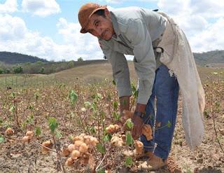 Experiência com algodão orgânico na Paraíba deve ser levada a países do Mercosul
