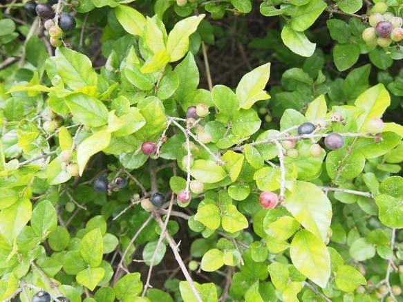 Canh Châu - Sageretia theezans - Nguyên liệu làm thuốc Chữa Cảm Sốt