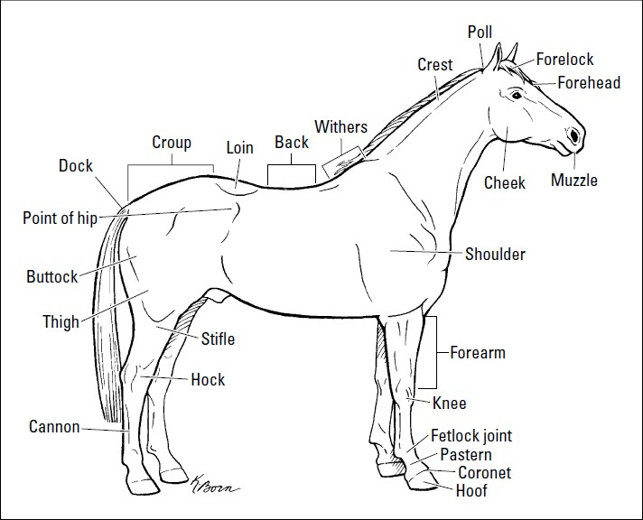 Introducing the Anatomy of a Horse ~ We love pets