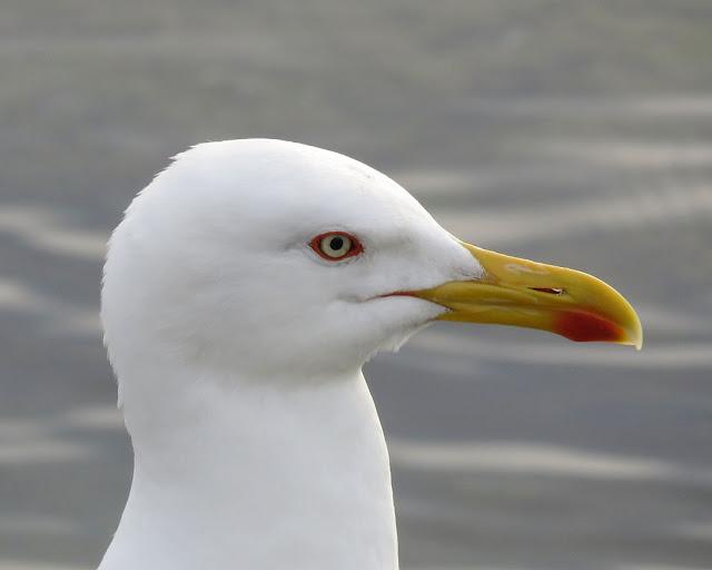 Portrait of a gull, Terrazza Mascagni, Livorno