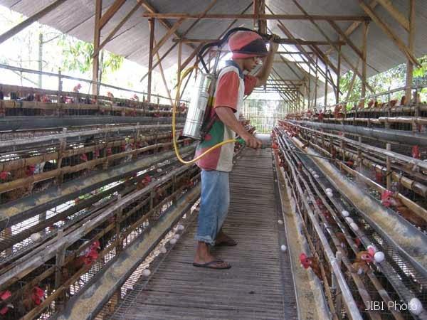 Cara Beternak Ayam Petelur Untuk Pemula