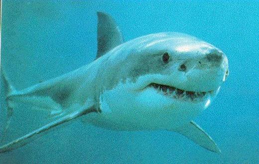 最美麗的海洋動物-大白鯊