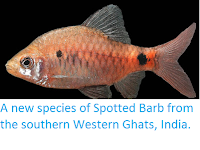 https://sciencythoughts.blogspot.com/2012/12/a-new-species-of-spotted-barb-from.html
