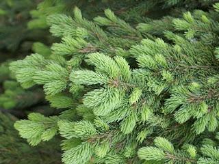 Épinette blanche - Épicéa glauque - Picea glauca 'Pendula'