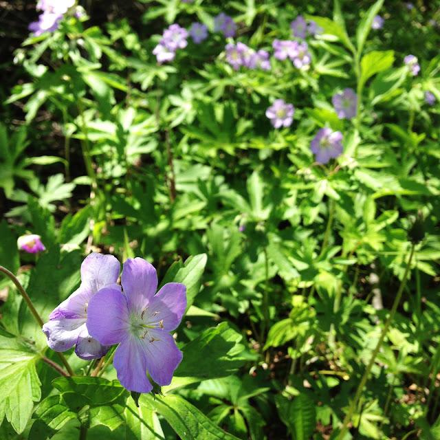 wildflowers, wild geraniums, spring, woodland flowers, Anne Butera, My Giant Strawberry