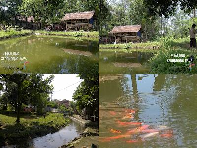 gambar indahnya kolam ikan koi desa