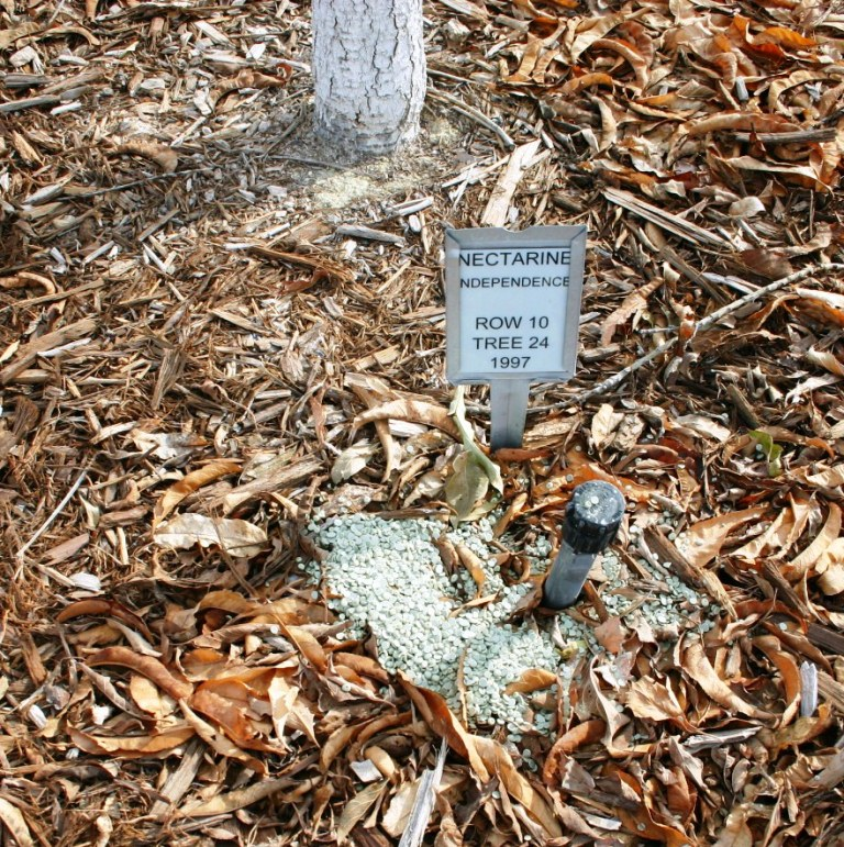 Granular Fertilizer Placed Next To A Bubbler In Wood Mulch So The Will Be Moved Roots By Water Coming From