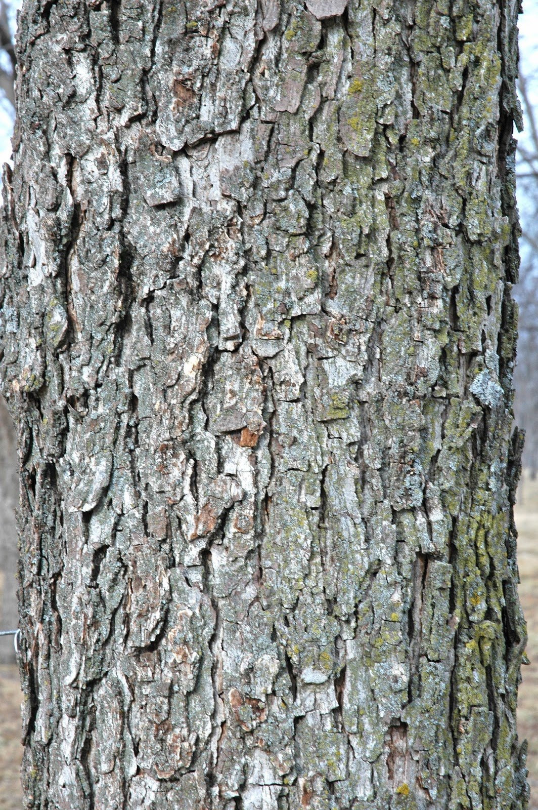 Pecan Tree Bark Peeling