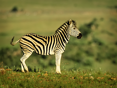 young zebra wallpaper