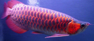 Ikan Arwana Chili Red