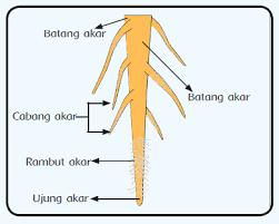 Struktur Anatomi Akar Serta Bagiannya