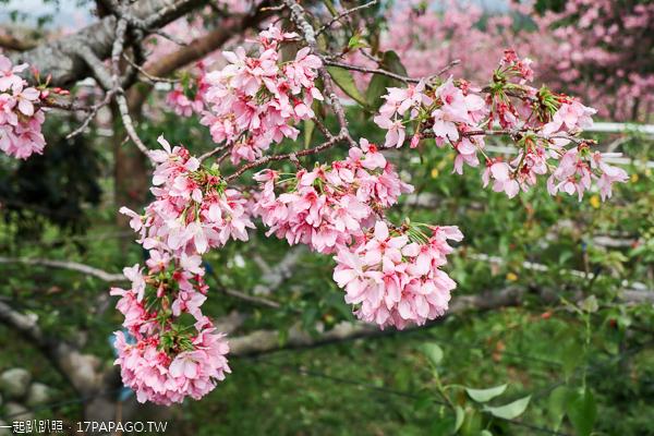 台中新社興社街富士櫻秘境,富士櫻盛開吸引大批遊客賞花拍照