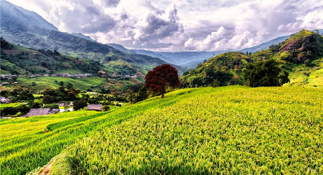 A Glimpse of Ha Giang During Ripe Rice Season 2