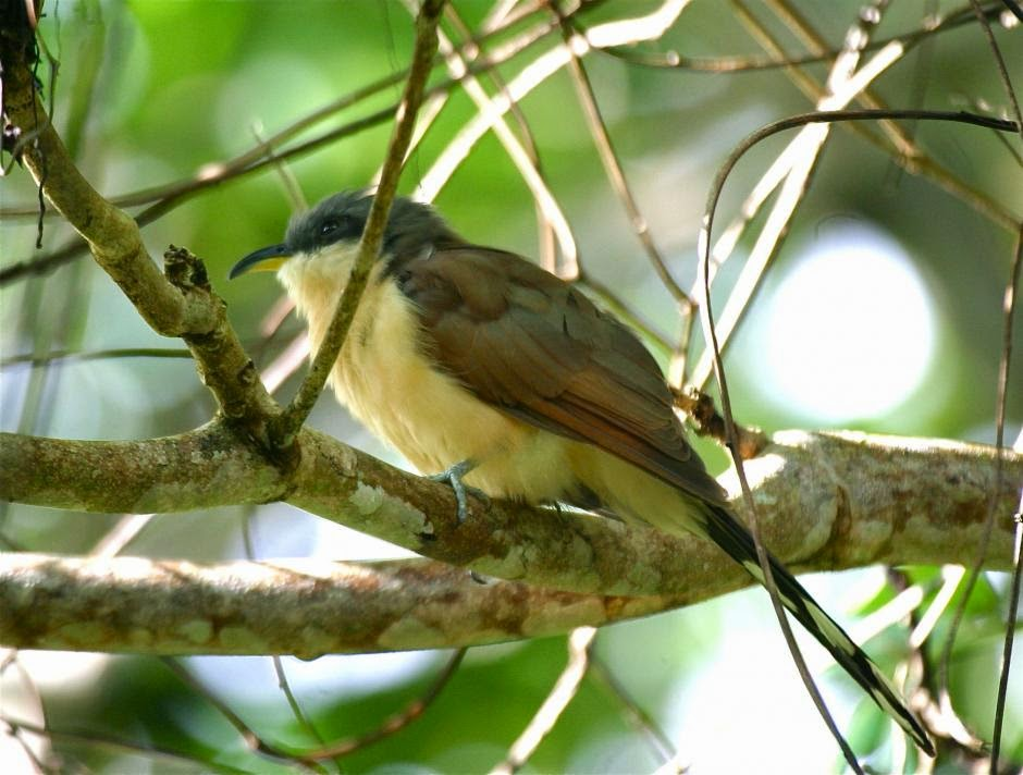 Cuclillo de las islas Cocos: Coccyzus ferrugineus