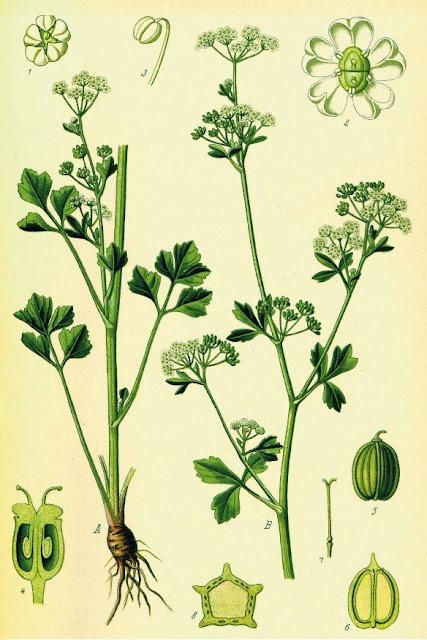 Rau Cần Tây-Apium graveolens-Nguyên liệu làm thuốc Hạ Huyết Áp