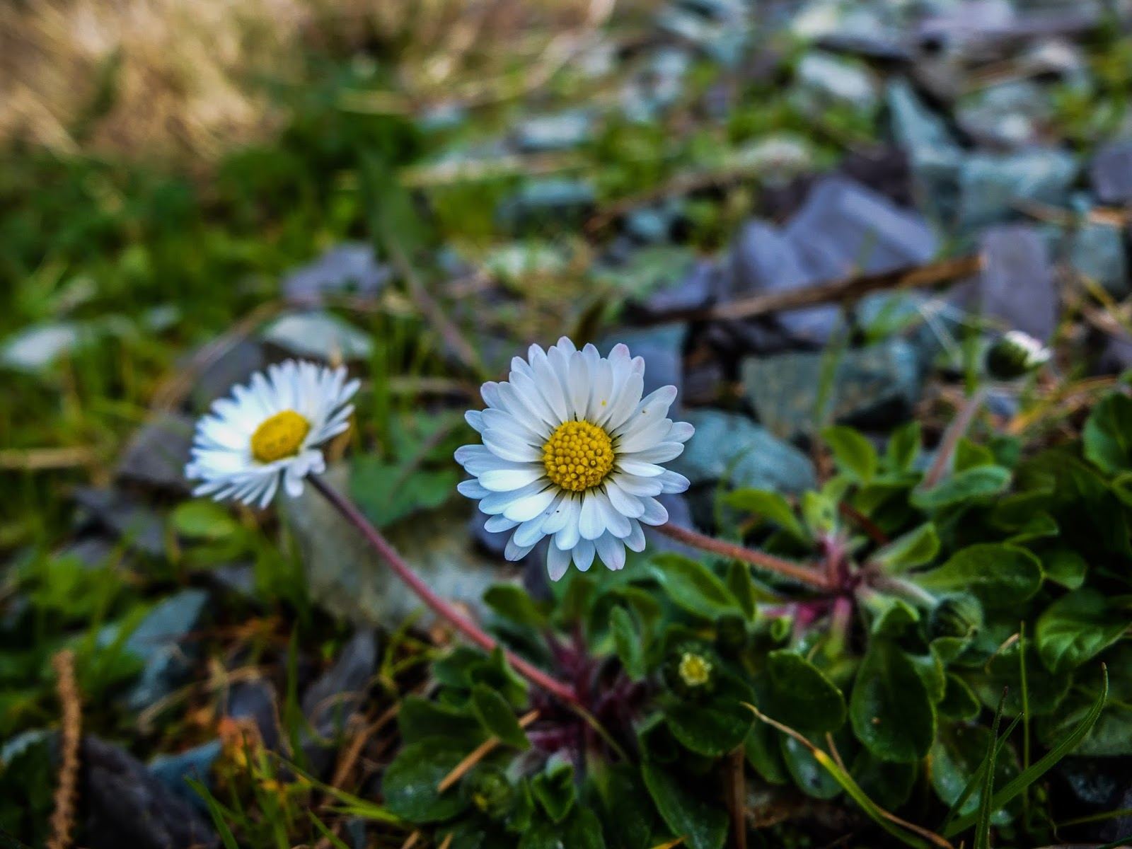 Daisies in between rocks and grass.