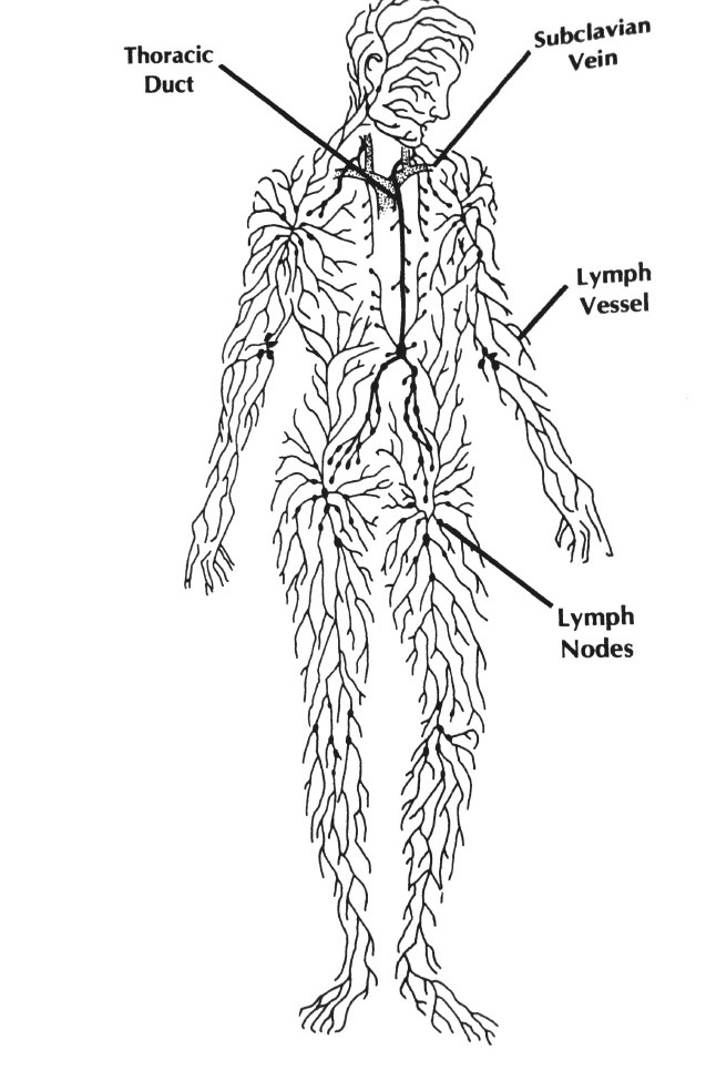 Holistic Health Corner: Is Your Lymph, Limp? Why it's