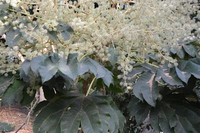 Flor Tetrapanax o Planta papel arroz
