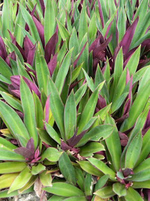 Moses-in-a-Basket Tradescantia spathacea at Orchid World Barbados by garden muses-not another Toronto gardening blog
