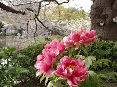 ぼたんと桜