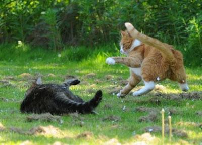 Foto kucing berantem yang keren