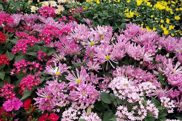 Spoon chrysanthemum flower