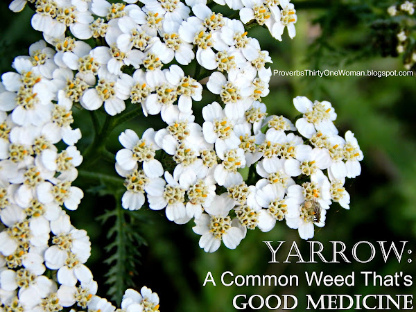 Yarrow: A Common Weed That's Good Medicine