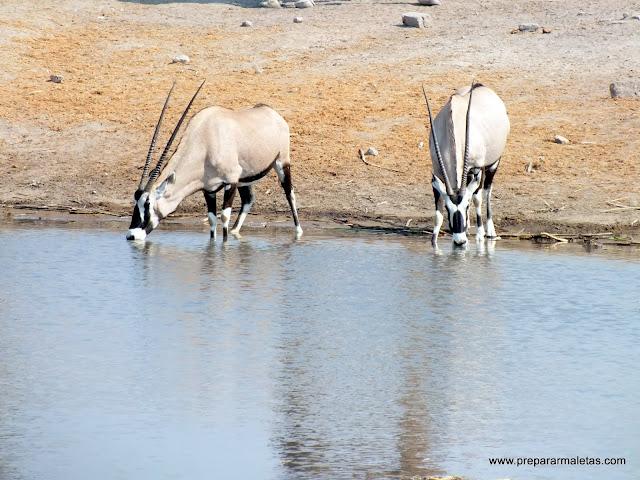 Oryx en Etosha
