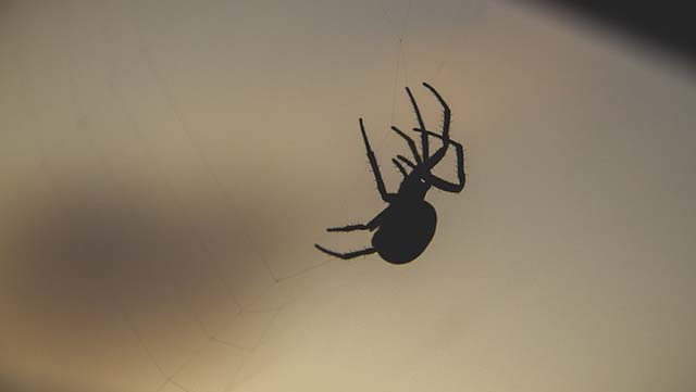 Los investigadores dicen: si tienes arañas en tu casa, no deberías matarlas