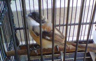 Burung Cendet - Penyakit Cacingan yang Menyerang Burung Cendet dan Cara Penangannannya - Penangkaran Burung Cendet