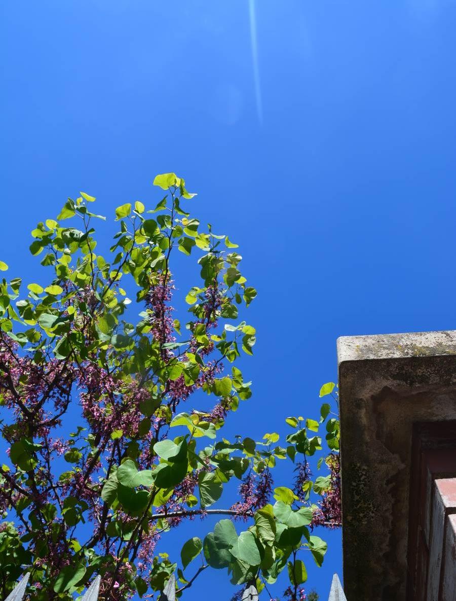 ciel bleu et abre en fleurs à Barcelone